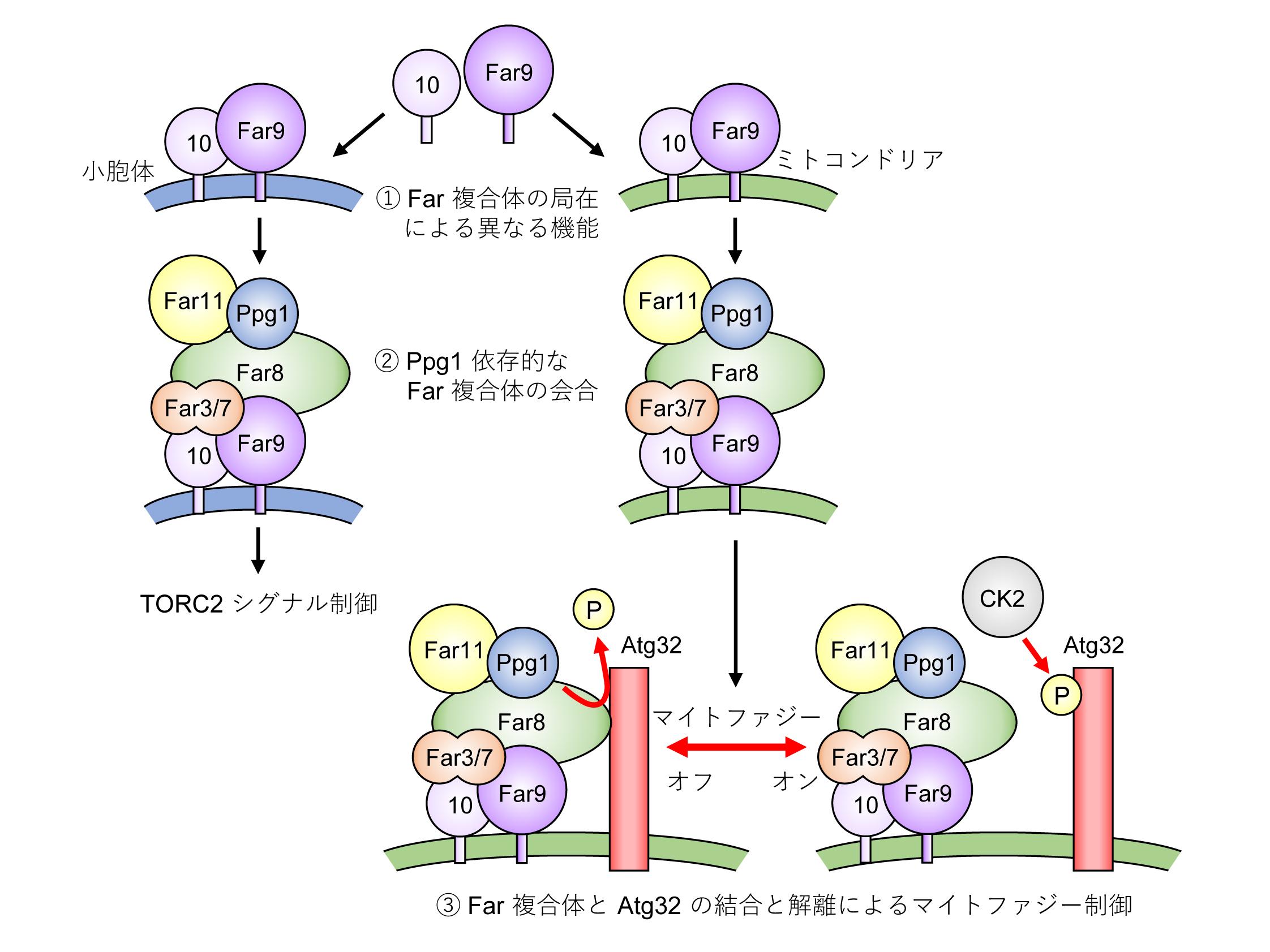 2020-12-15 Far 複合体と Atg32 の結合と解離によるマイトファジーの ...