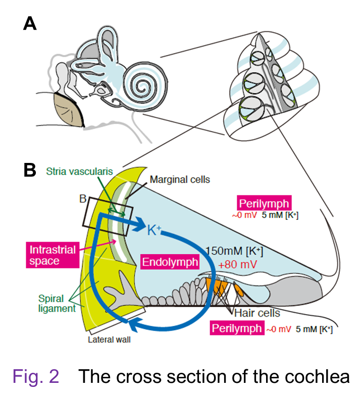 In The Cochlea Sensory Hair Cells Expose Their Apical Membrane Which Has Stereocilia To Endolymph And Bathe Cell Bodies Perilymph